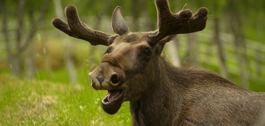 Mye elg på veger i Nordkapp-regionen