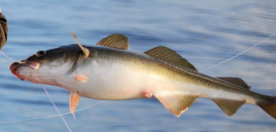 Forsøk på ulovlig utførsel av fisk