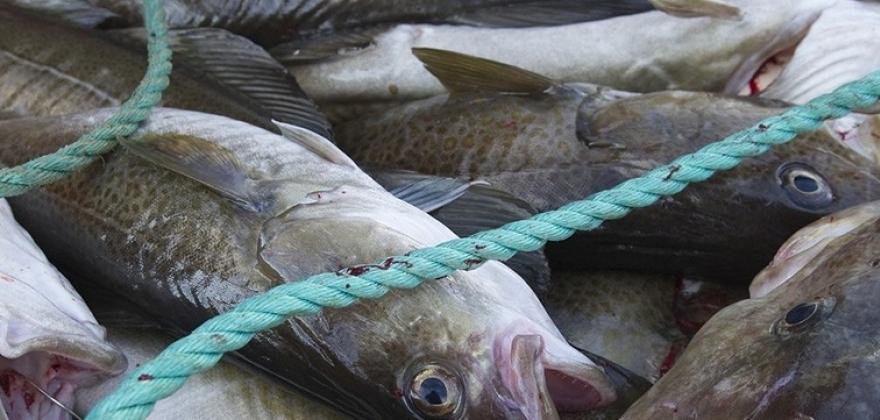 Krever torsk til Nordkapp