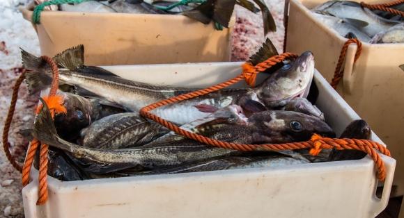 Vekst for torsk i juli