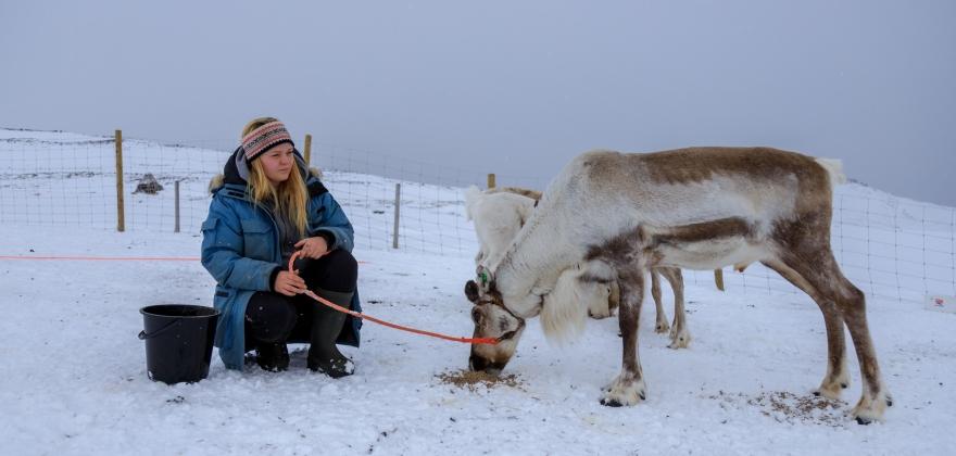 Vinterturisme og reinsdyr i Skarsvåg