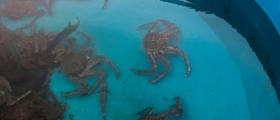 Krabbe-forsker er bekymret for hunnkrabben