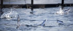 Lakseunger med oppdrettsforeldre dør lettere enn villfisk