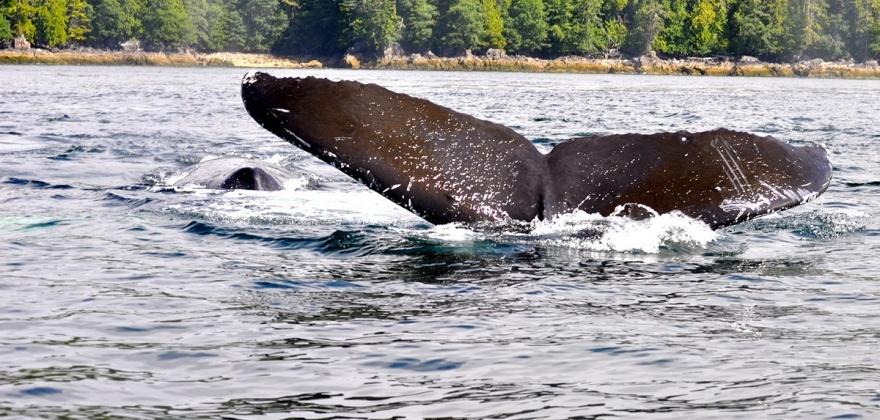 Forskere skal svømme med hval