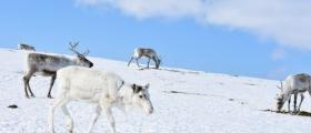 Vil ta ut rovvilt for å berge samisk reindrift