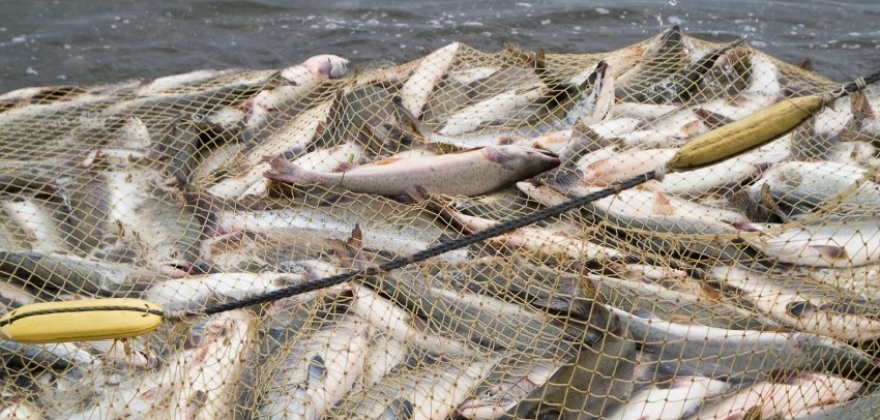 Drømmesommer for torsk