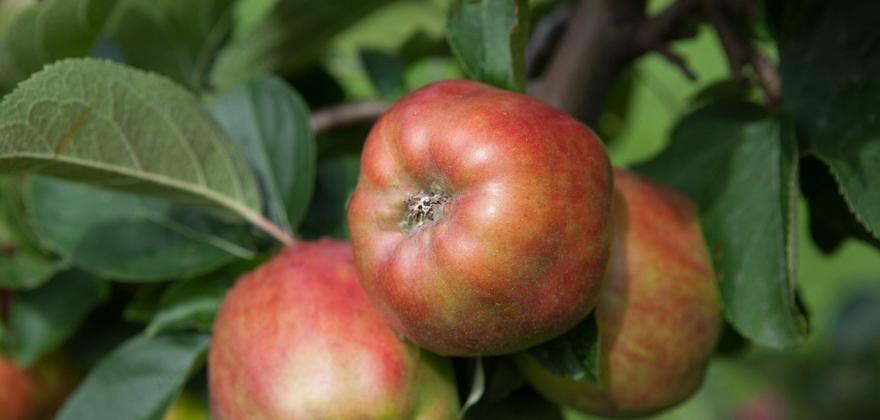 Norske epler til vinneren