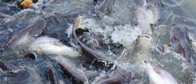 Tre norske fiskeartene hadde høye kvikksølv-nivå