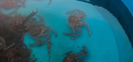 Krabbe til hele Finnmark