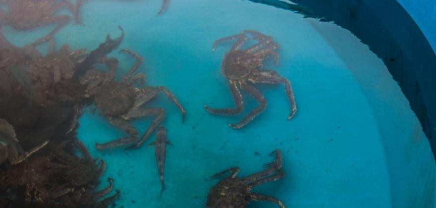 krabben og seien holder kystflåten i gang