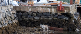 Rein i Honningsvåg havn