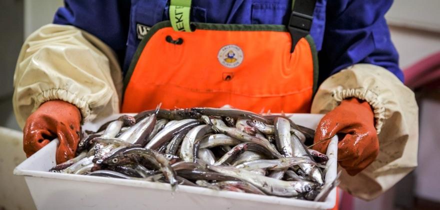 Havforskere fraråder loddefiske neste år