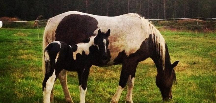 Fjerner toll ved hesteimport