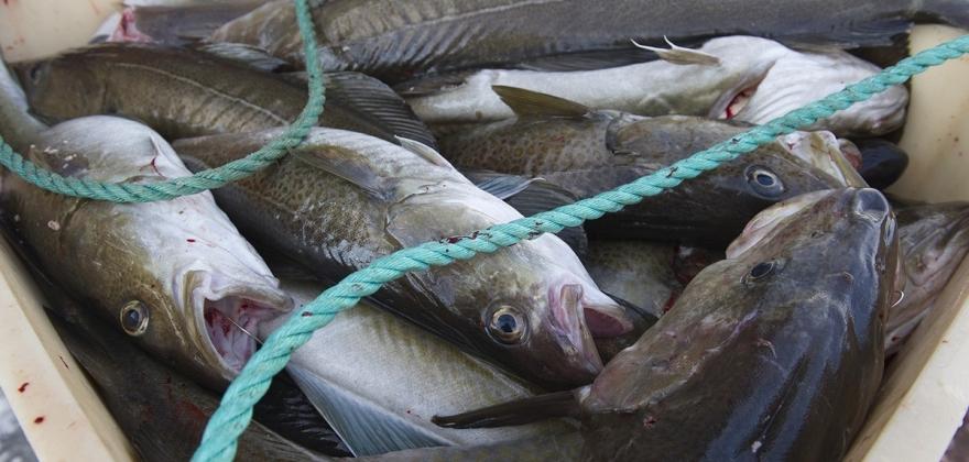 Nærmer seg 500 000 kroner i bøter for fiskesmugling på to måneder